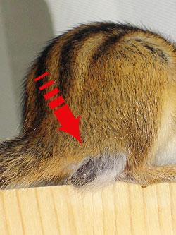 Hoden eines Streifenhörnchens