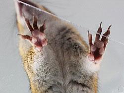 Vorderpfoten eines Streifenhörnchens