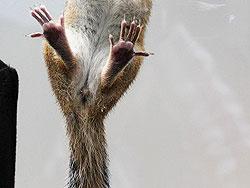 Hinterläufe / -pfoten eines Streifenhörnchens