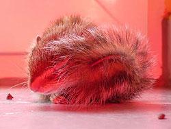 Streifenhörnchen wird mit Rotlicht bestrahlt